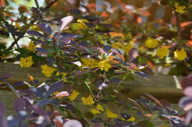 黄花ホウチャクソウ、銅葉のメギ_c0124100_22252254.jpg