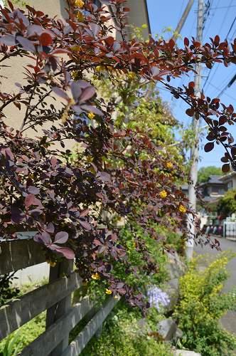 黄花ホウチャクソウ、銅葉のメギ_c0124100_22253219.jpg