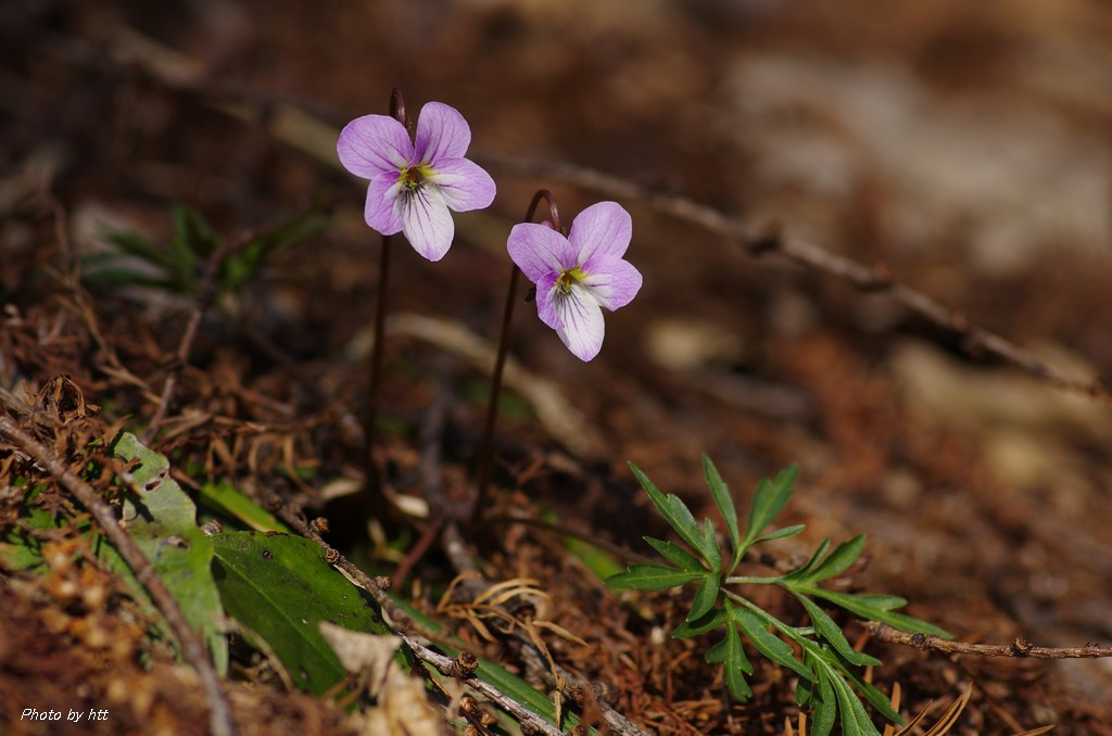 2014年4月23日 岩出山の春の花_f0148627_1841476.jpg
