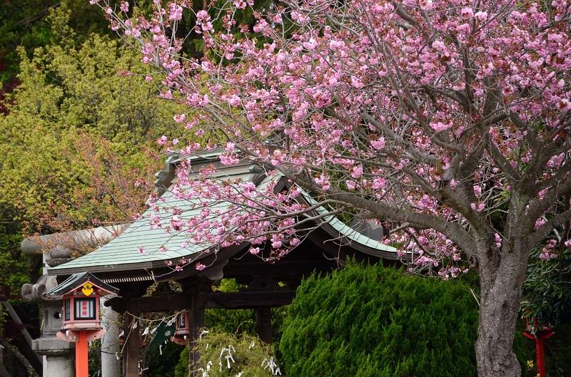 ボタン桜咲く_b0230131_11122065.jpg