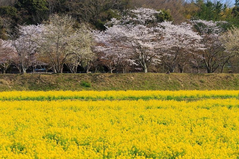 大御堂観音寺・菜の花と桜(京田辺市)_f0155048_2135132.jpg