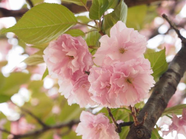過ぎゆく八重桜の季節_a0257652_17273739.jpg