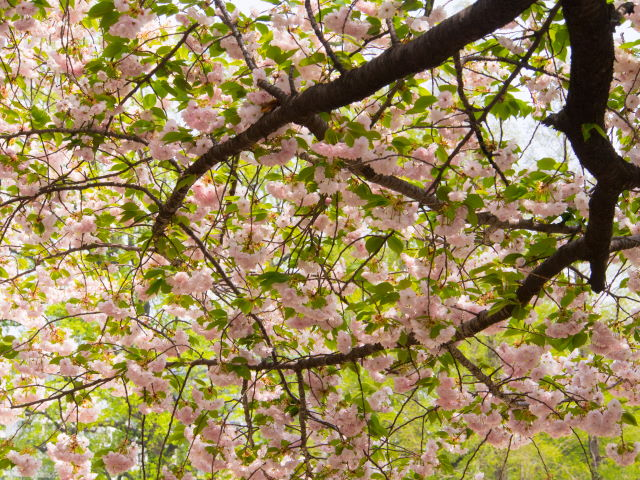 過ぎゆく八重桜の季節_a0257652_178384.jpg