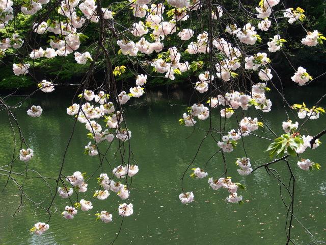過ぎゆく八重桜の季節_a0257652_179128.jpg