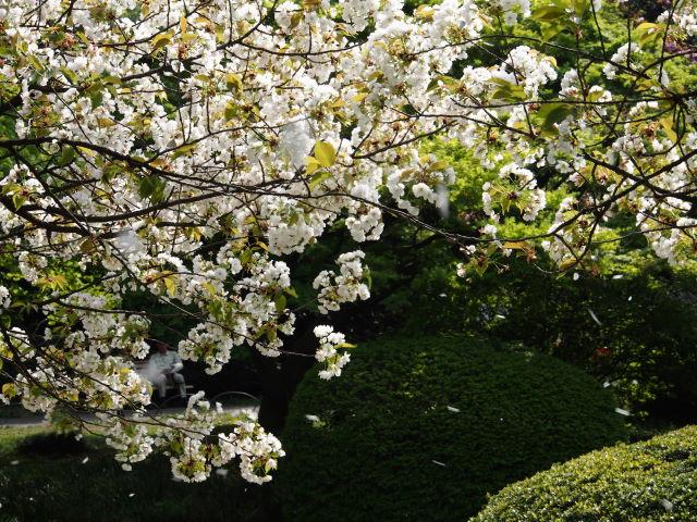 過ぎゆく八重桜の季節_a0257652_1793945.jpg