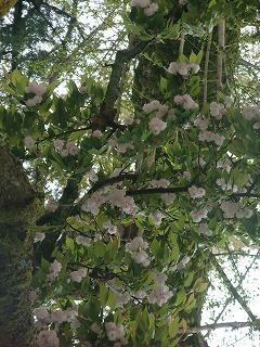 桜開花情報-浄教寺-_c0208355_1362823.jpg