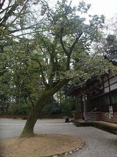 桜開花情報-浄教寺-_c0208355_1364025.jpg
