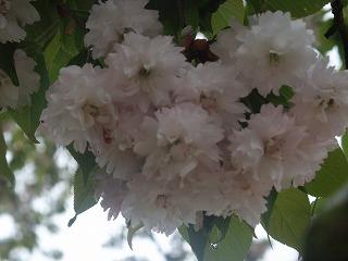 桜開花情報-浄教寺-_c0208355_1372484.jpg