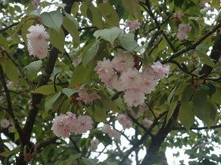 桜開花情報-浄教寺-_c0208355_1374526.jpg