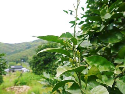 種なしかぼす 今年も順調に元気に芽吹きました!!_a0254656_1954314.jpg