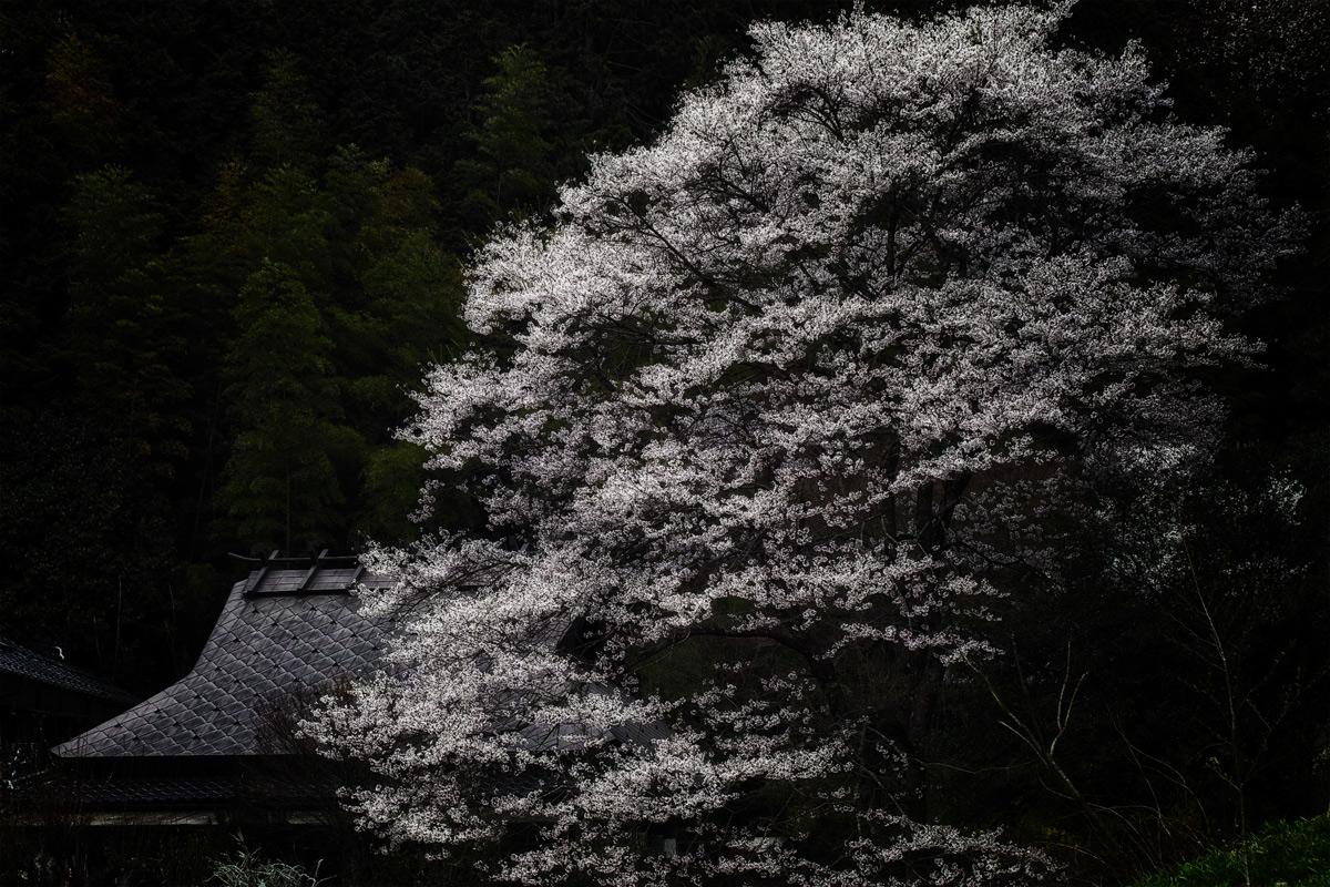 桜 2014 丹波                   _f0021869_21103763.jpg