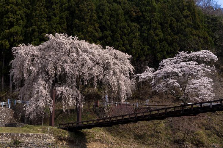 京北の桜を求めて ~前編~_e0051888_21485659.jpg