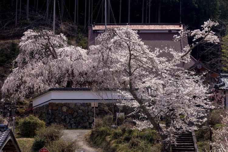 京北の桜を求めて ~前編~_e0051888_21494826.jpg
