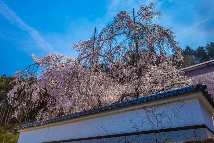 京北の桜を求めて ~前編~_e0051888_21501517.jpg