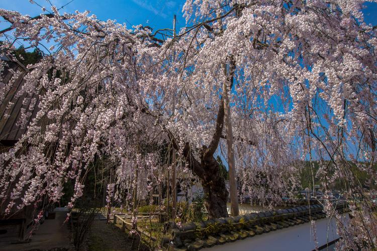京北の桜を求めて ~前編~_e0051888_21503466.jpg