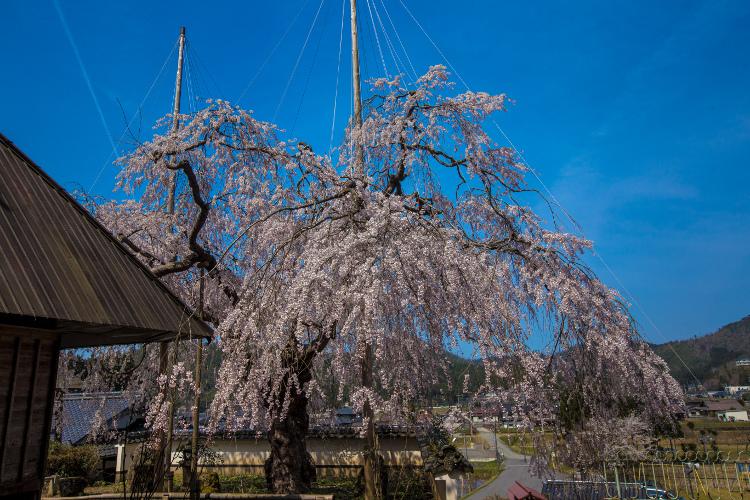 京北の桜を求めて ~前編~_e0051888_21505336.jpg