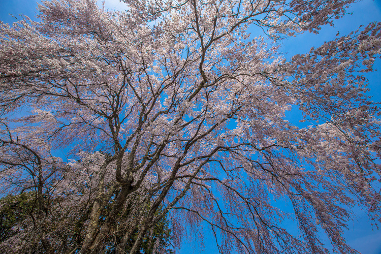 京北の桜を求めて ~前編~_e0051888_21521415.jpg