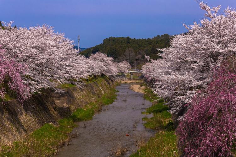 京北の桜を求めて ~前編~_e0051888_2153218.jpg