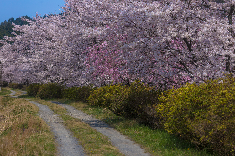 京北の桜を求めて ~前編~_e0051888_21532323.jpg