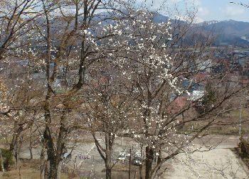 亀ヶ城址の桜、の蕾_a0096989_15104139.jpg