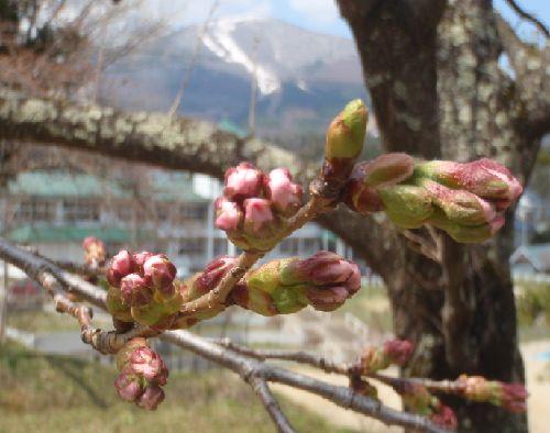亀ヶ城址の桜、の蕾_a0096989_158040.jpg