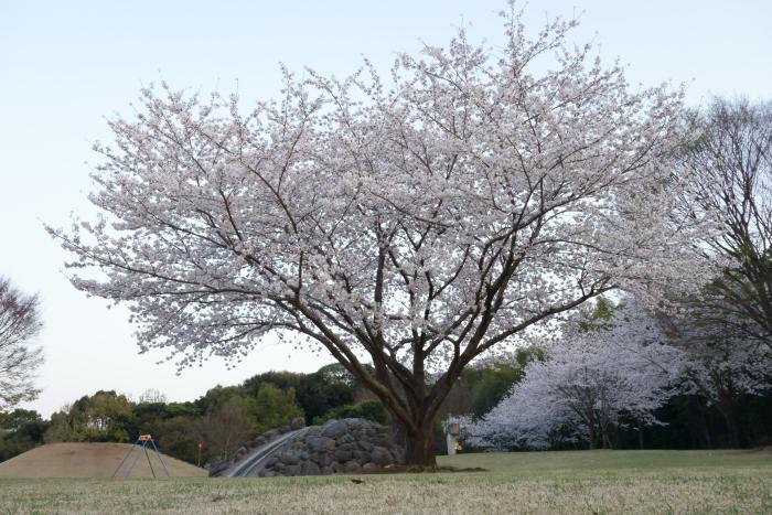 運動公園の桜_e0135098_636684.jpg