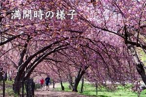 ニューヨークの桜シーズン_b0007805_2022190.jpg