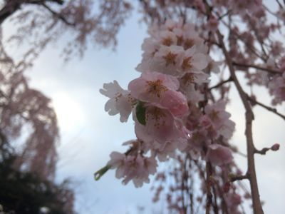 ☆今年の桜〜☆_d0265309_3444346.jpg
