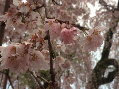 ☆今年の桜〜☆_d0265309_3444526.jpg