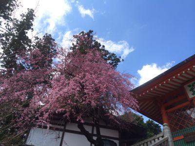 ☆今年の桜〜☆_d0265309_3444640.jpg