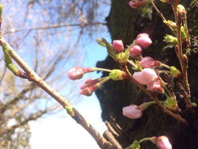 ☆今年の桜〜☆_d0265309_3445055.jpg
