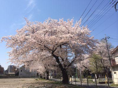 ☆今年の桜〜☆_d0265309_3445852.jpg
