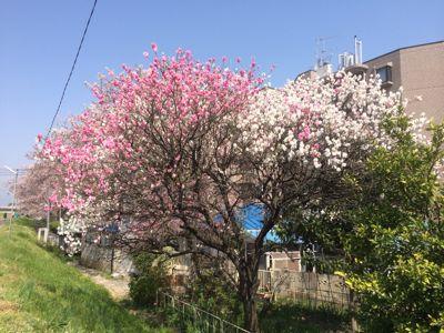 ☆今年の桜〜☆_d0265309_345293.jpg