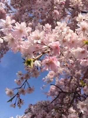 ☆今年の桜〜☆_d0265309_345561.jpg