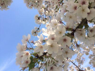 ☆今年の桜〜☆_d0265309_345790.jpg