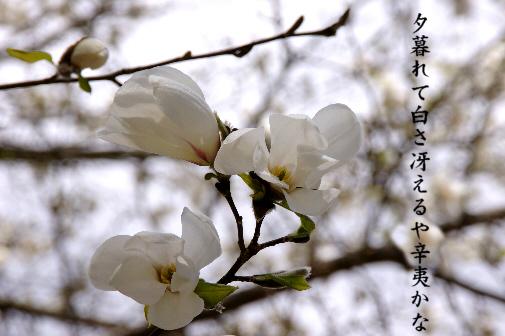 辛夷_e0099713_2363353.jpg