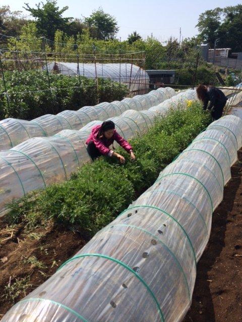 トマトの畝・・耕し中です・・リーキは全部収穫して お店に・・・_c0222448_18562525.jpg