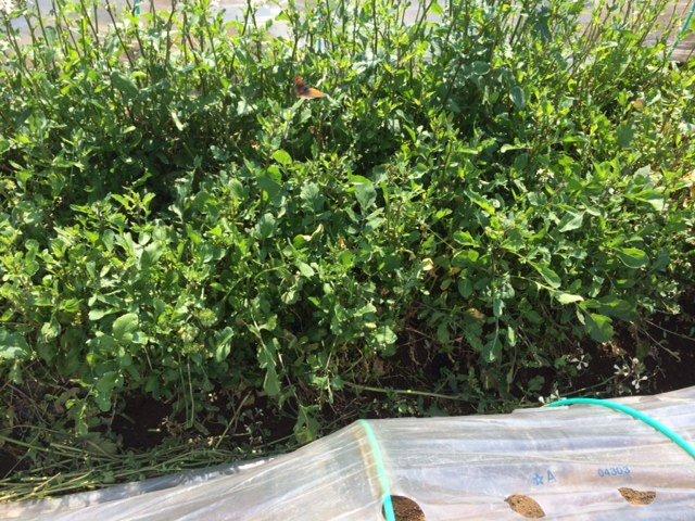 トマトの畝・・耕し中です・・リーキは全部収穫して お店に・・・_c0222448_18564229.jpg