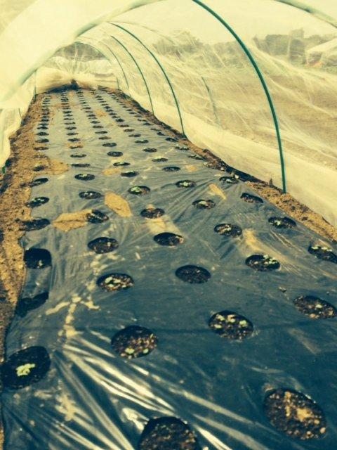 トマトの畝・・耕し中です・・リーキは全部収穫して お店に・・・_c0222448_19014339.jpg