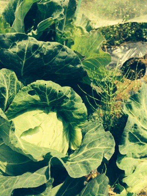 トマトの畝・・耕し中です・・リーキは全部収穫して お店に・・・_c0222448_19022870.jpg