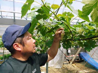 熊本ぶどう 社方園 蕾、花、着果 本物を育てる匠の技 その1_a0254656_2042023.jpg