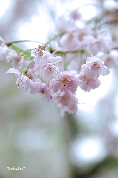 京都 原谷苑の桜。_c0070460_16454720.jpg