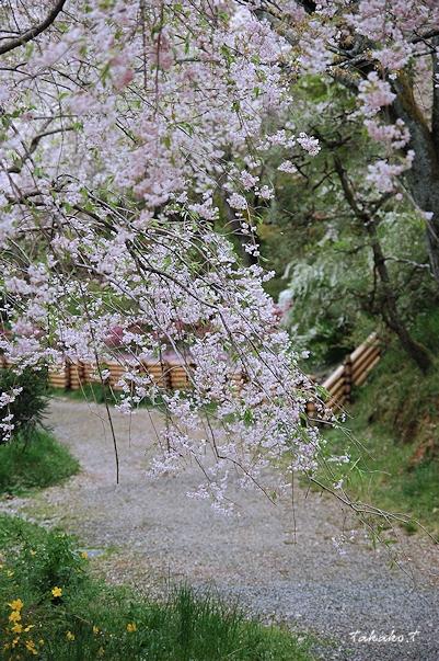京都 原谷苑の桜。_c0070460_16513631.jpg