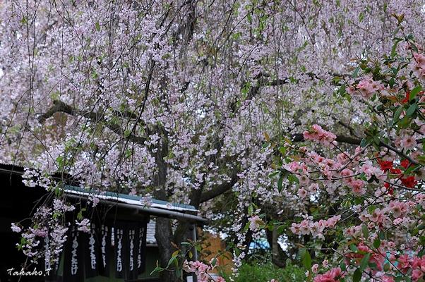 京都 原谷苑の桜。_c0070460_1652060.jpg