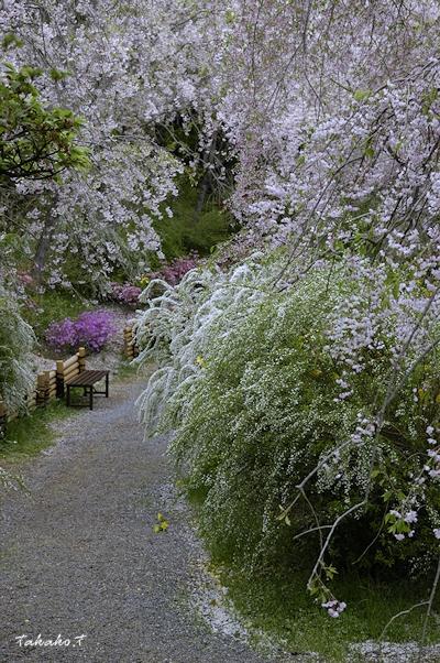 京都 原谷苑の桜。_c0070460_1701595.jpg