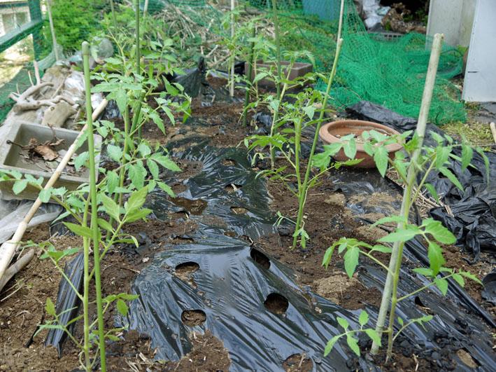 裏庭にトマトとバジル、キュウリの苗を植え付け4・17、23)_c0014967_20242930.jpg