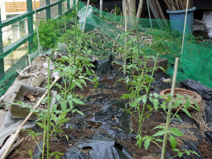 裏庭にトマトとバジル、キュウリの苗を植え付け4・17、23)_c0014967_20262226.jpg