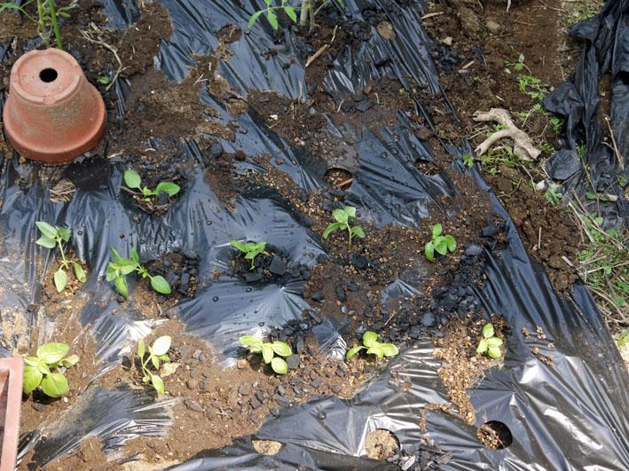 裏庭にトマトとバジル、キュウリの苗を植え付け4・17、23)_c0014967_2027098.jpg