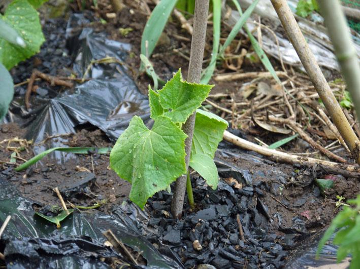 裏庭にトマトとバジル、キュウリの苗を植え付け4・17、23)_c0014967_226428.jpg