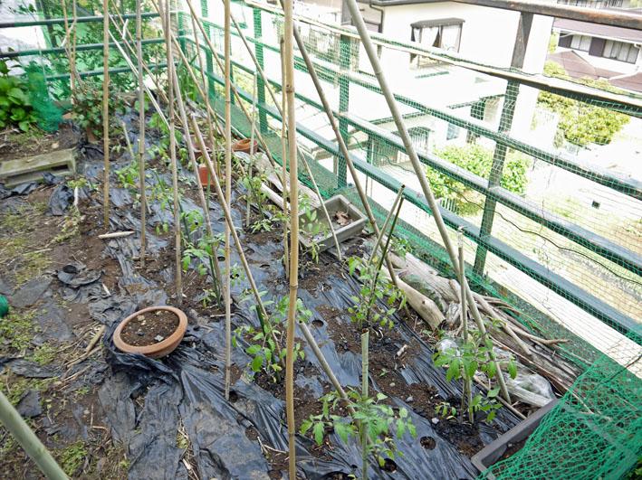 裏庭にトマトとバジル、キュウリの苗を植え付け4・17、23)_c0014967_2271191.jpg